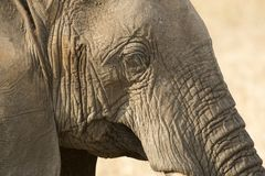关闭大象顶头显示的眼睛 图库摄影