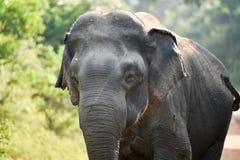 关闭大象头 库存图片