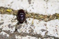 关闭大黑甲虫照片白色表面上的 库存照片