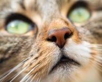 关闭天使虎斑猫的面孔 免版税库存图片