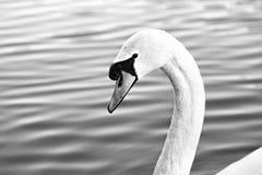 关闭天鹅头游泳在湖 库存图片