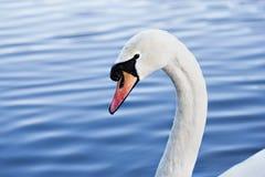 关闭天鹅头游泳在湖 库存照片