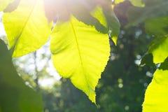 关闭太阳由后照的绿色叶子 免版税库存照片