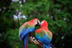 关闭夫妇美丽猩红色peaning金刚鹦鹉的鸟和 免版税图库摄影
