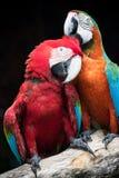 关闭夫妇美丽猩红色peaning金刚鹦鹉的鸟和 免版税库存照片