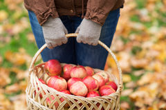 关闭妇女用在篮子的苹果秋天 免版税库存图片