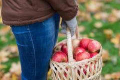 关闭妇女用在篮子的苹果秋天 免版税库存照片