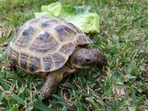 关闭婴孩在绿草的龟盒在晴朗的光 免版税库存图片