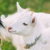 关闭孩子山羊 7个动物动画片农厂例证系列 库存照片