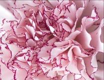 关闭宏观桃红色康乃馨花 图库摄影