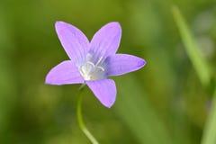 关闭室外紫色的花 库存图片