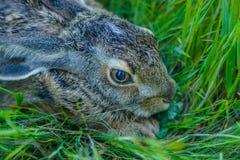 关闭害怕灰色兔子在草坐 图库摄影