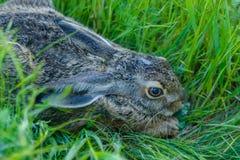 关闭害怕灰色兔子在草坐 免版税库存照片