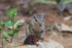 关闭寻找在地面上的小灰鼠食物 免版税库存图片