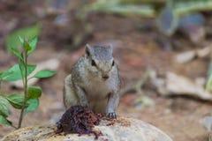 关闭寻找在地面上的小灰鼠食物 库存照片