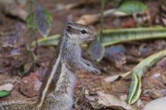 关闭寻找在地面上的小灰鼠食物 库存图片
