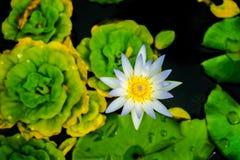 关闭小开花的白莲教在池塘 免版税库存图片