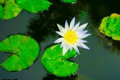 关闭小开花的白莲教在池塘 免版税库存照片