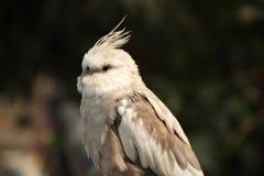 关闭小形鹦鹉, Nymphicus hollandicus 库存照片