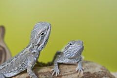 关闭小爬行动物蜥蜴有胡子的龙画象  免版税库存照片