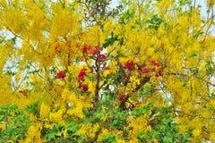 关闭小组黄金雨树和九重葛花 免版税库存图片