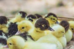 关闭小组小鸭子 免版税库存图片