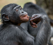 关闭少年倭黑猩猩的画象 黑猩猩倭黑猩猩(平底锅paniscus)的Cub 库存图片