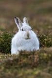 关闭山或北极野兔 库存照片