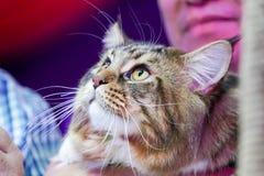 关闭山猫面孔和长的颊须长的白棕色头发 库存照片