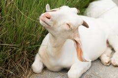 关闭山羊 免版税图库摄影