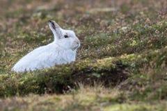 关闭山野兔天兔座timidus 库存图片
