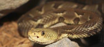关闭岩石响尾蛇,响尾蛇lepidus 库存照片