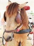 关闭工作的马的面孔与眼睛瞎的道路的 库存照片