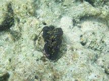 关闭巨蛤蛤蜊 图库摄影