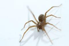 关闭布朗蜘蛛蜘蛛纲的动物活生活 免版税图库摄影