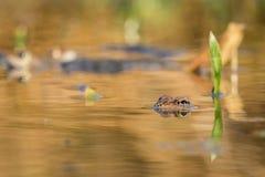 关闭布朗青蛙蛙属temporaria 图库摄影