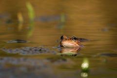 关闭布朗青蛙蛙属temporaria 免版税库存照片