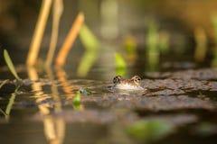关闭布朗青蛙蛙属temporaria 库存照片