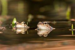 关闭布朗青蛙蛙属temporaria 免版税图库摄影
