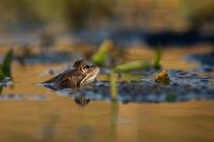 关闭布朗青蛙蛙属temporaria 免版税库存图片