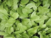 关闭常绿藤本植物aureum自然绿色背景 库存照片