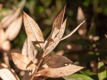 关闭干死的棕色叶子打翻宏观冬天秋天 免版税库存图片