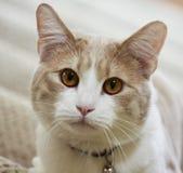 关闭平纹奶油猫 免版税库存图片