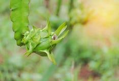 关闭年轻龙根天南星果子或pitaya或pitahaya果子在有机农场 库存图片