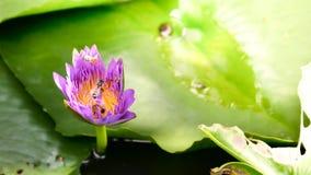关闭并且弄脏背景早晨口气蜂蜜收集花粉深深五颜六色的开花的紫色水锂的蜂飞行和蜂 库存图片