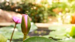 关闭并且弄脏背景早晨口气蜂蜜收集花粉深深五颜六色的开花的紫色水锂的蜂飞行和蜂 库存照片