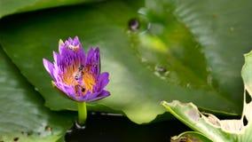 关闭并且弄脏背景蜂蜜收集花粉深深五颜六色的开花的紫色荷花的蜂飞行和蜂图c 免版税库存图片