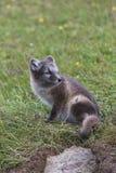关闭幼小嬉戏的白狐崽在夏天 库存图片