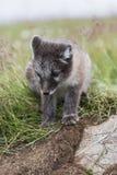 关闭幼小嬉戏的白狐崽在夏天 免版税库存图片