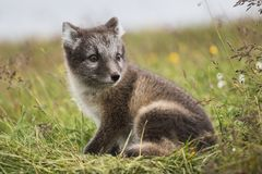 关闭幼小嬉戏的白狐崽在夏天 免版税库存照片